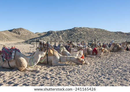 Herd of dromedary camels at egyptian bedouin village in remote mountain rocky desert - stock photo