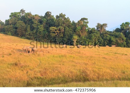 Herd of elephant at Khao Yai national park ( a unesco world heritage site ), Thailand.