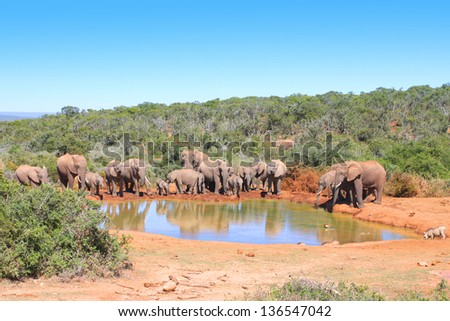 Herd of elephant drinking at a waterhole - stock photo