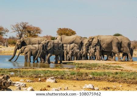 Herd of elephants (Elephantidae) at a waterhole in Etosha National Park, Namibia - stock photo