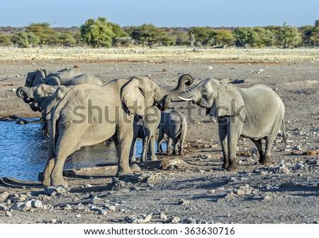 Herd of elephants (Elephantidae) at a waterhole - Namibia, South-West Africa - stock photo