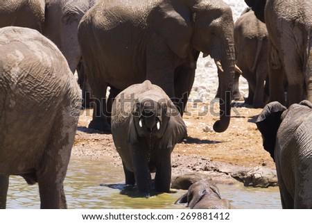Herd of elephants from Etosha National Park, Namibia - stock photo
