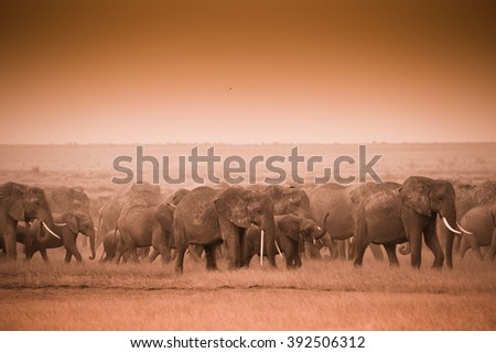 Herd of elephants in Amboseli National Park kenya