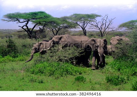 Herd of elephants in Serengeti National Park of Africa - stock photo