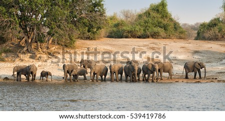 Herd of elephants (Loxodonta africana) with a tiny calf  before sunset drinking and bathing at the Chobe river in Chobe National Park, Botswana