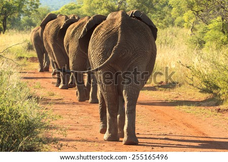 Herd of elephants marching single file down a dirt road - stock photo