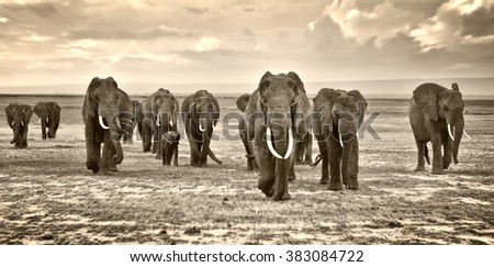 herd of elephants walking group on the African savannah at photographer - stock photo