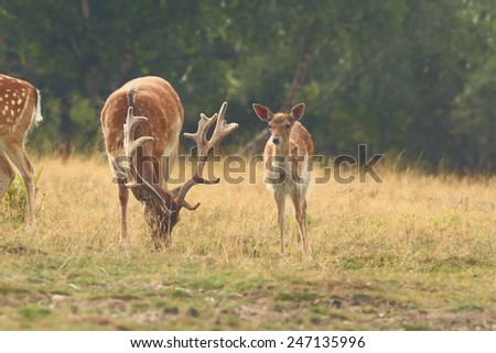 herd of fallow deers ( Dama ) grazing in clearing - stock photo
