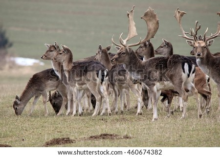 Herd of fallow deers with their hinds graze on the meadow