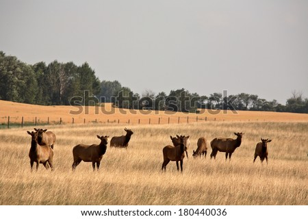 Herd of farm elk in scenic Saskatchewan - stock photo