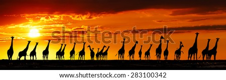 Herd of giraffes in african savanna at sunset - stock photo