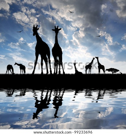 herd of giraffes in the setting sun - stock photo