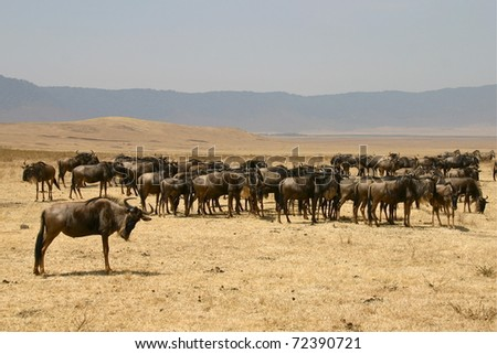 herd of gnus