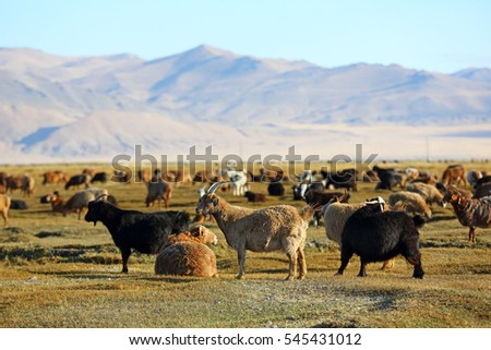 Herd of goats and sheeps in meadow for agriculture at Mongolian