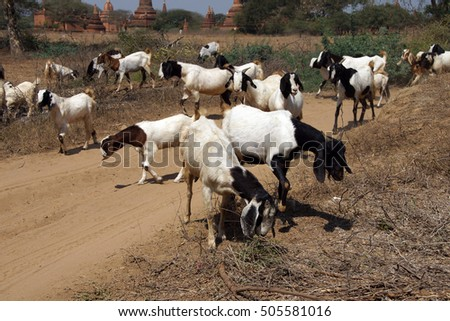 Herd of goats grazing with ancient stupas and temples in background, Bagan Myanmar (Burma)