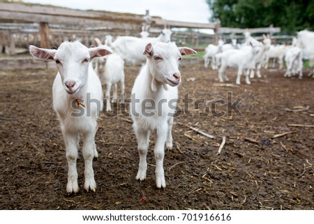 Herd of goats on the farm
