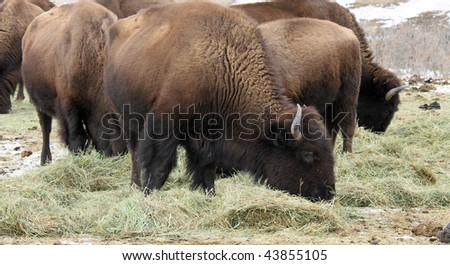 Herd of healthy American Buffalo grazing in the Rocky Mountains of Colorado - stock photo