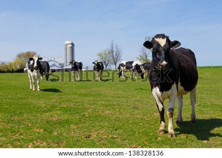 Herd of Holstein cows in pasture on an Amish farm in Lancaster County, Pennsylvania  - stock photo