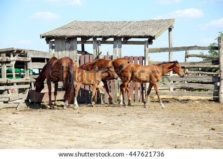 Herd of horses eating dry hay in the summer corral - stock photo