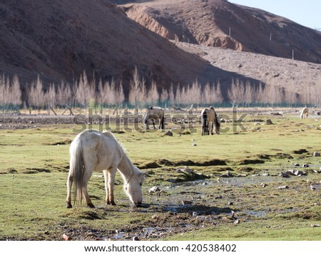 Herd of horses grazing in the field of Tibet