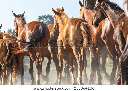 Herd of horses moving in line across the field. - stock photo