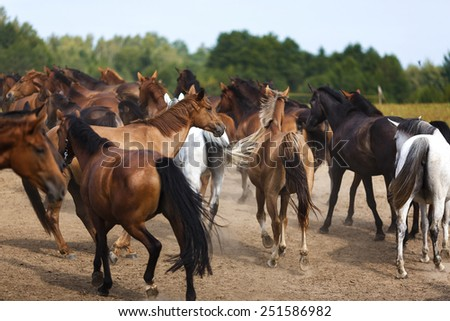 Herd of horses running along the dusty meadow - stock photo