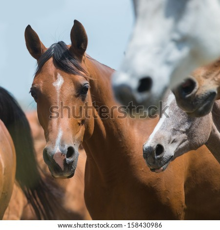 Herd of horses running outdoor, Arabian horses. - stock photo