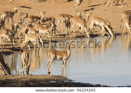 Herd of Impala (Aepyceros melampus) drinking from a natural pan in South Africa's Kruger Park