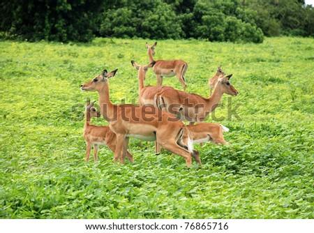 Herd of  Impala Antelopes  is grazing in the Savanna of National park Chobe, Botswana. - stock photo
