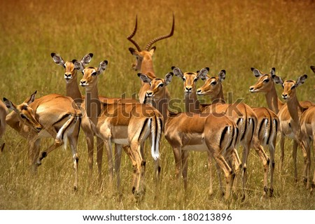 Herd of impalas in Ambosel - stock photo