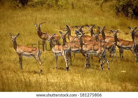 Herd of impalas in Masai Mara - stock photo