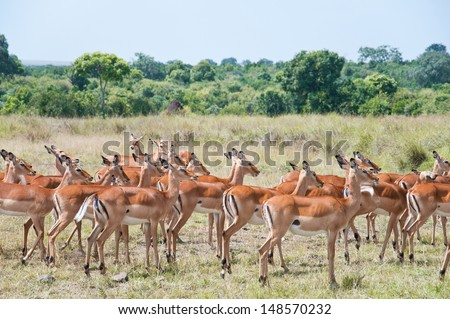 herd of impalas - national park masai mara in kenya - stock photo