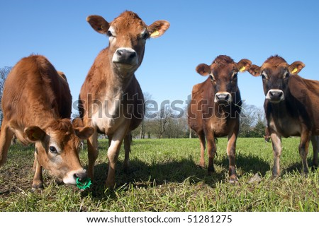 Herd of jersey cows at a meadow
