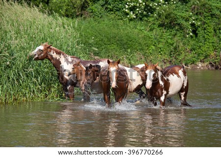Herd of paint horses in the water - stock photo