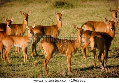 Herd of puku - stock photo
