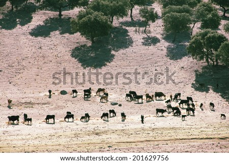 Herd of purebred bulls on beautiful spanish pasture - stock photo