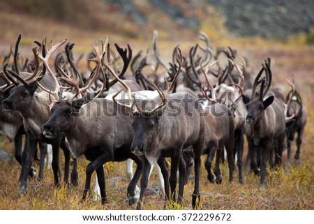 herd of reindeer. Kamchatka