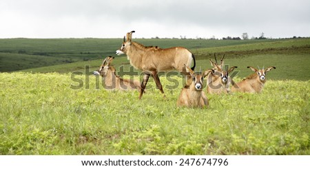 Herd of Roan Antelope on the Hills of Nyika Plateau, Malawi, Africa - stock photo
