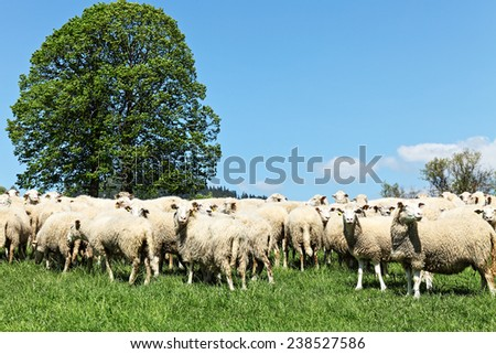 herd of sheep  - stock photo