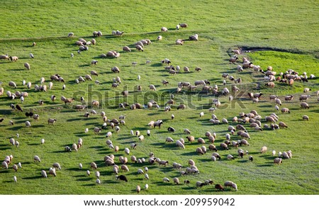 Herd of Sheep in Field