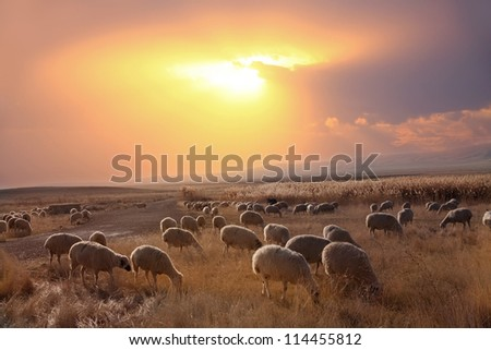 Herd of Sheep in Field Against Dramatic Sky - stock photo
