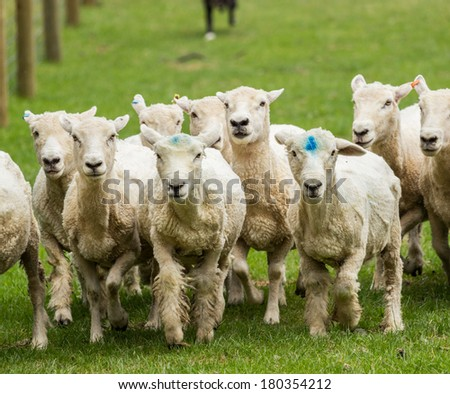 Herd of sheep in New Zealand farm being herded by sheepdog in background - stock photo