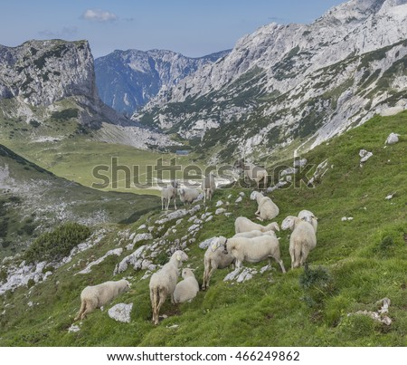 Herd of sheep in the Kamnik-Savinja Alps, Slovenia
