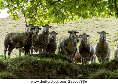 Herd of sheep looking down - stock photo