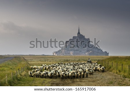 herd of sheep near le mont saint michel town of france - stock photo