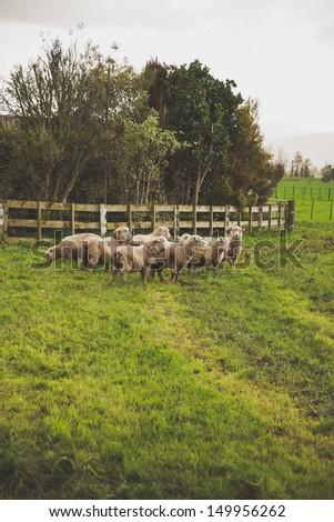 Herd of sheep on a farm - NZ farming image. - stock photo
