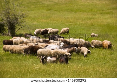 Herd of sheep on a sunny meadow