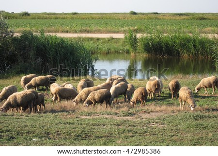 Herd of sheep on meadow near river