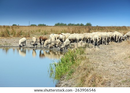 Herd of sheep on the watering place - stock photo