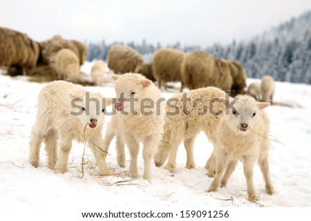 Herd of sheep skudde with lamb eating the hay meadow covered with snow. Winter on the farm. - stock photo